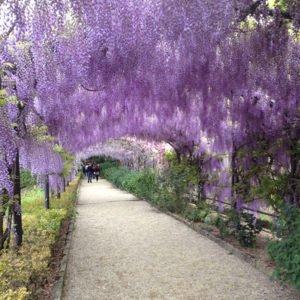 Giardino Bardini, wisteria
